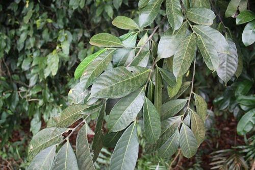 Streblus elongatus sun leaf 01