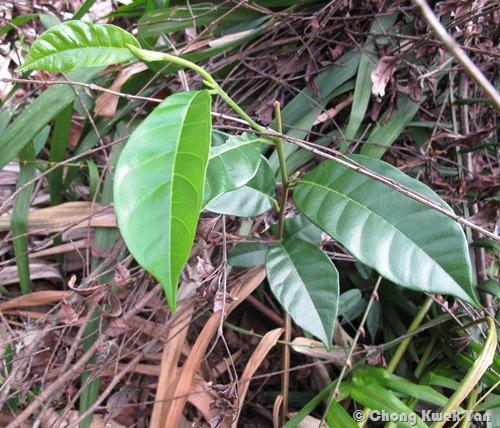 Artocarpus kemando H18-5113